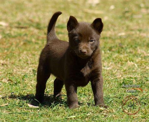 kelpie puppy 17 best images about kelpie on