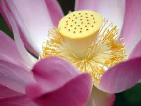What Is The Lotus Flower Used For Lotus Flower Meaning Pictures Blue White Lotus Flowers