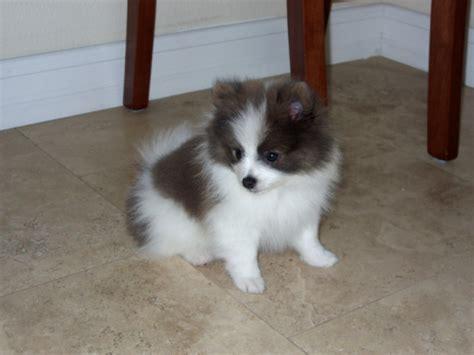 pomeranian puppies for free adoption pomeranian puppies for free adoption ashland ca asnclassifieds