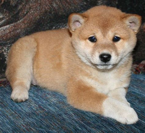 shiba inu puppies for sale in ohio best 25 shiba inu for sale ideas on shiba inu doge akita inu puppy and