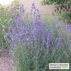 hardy lavender plants grow herbs and flowers in 1000 images about herbs on herbs garden healing herbs and how to grow
