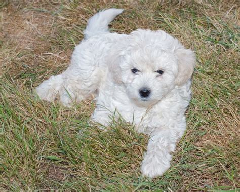 goldendoodle puppy progression goldendoodles f1 f1b 1800 breeds picture