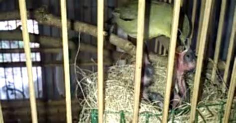 Harga Pakan Burung Pleci Import 4 cara dasar sukses beternak burung pleci