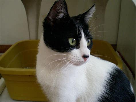 imagenes blancas y negras para bebes adopt 225 ndonos matilda preciosa gata blanca y negro est 225