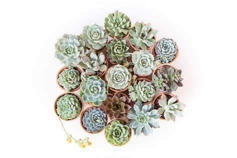 Beginner S Guide To Growing Succulents Garden - how to grow succulents a comprehensive guide linkis