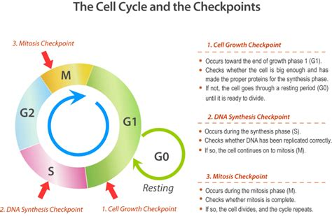 section 10 3 regulating the cell cycle answer key worksheets cell cycle regulation worksheet chicochino