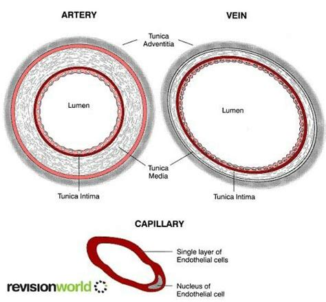 artery cross section 1000 images about exam 2 on pinterest respiratory