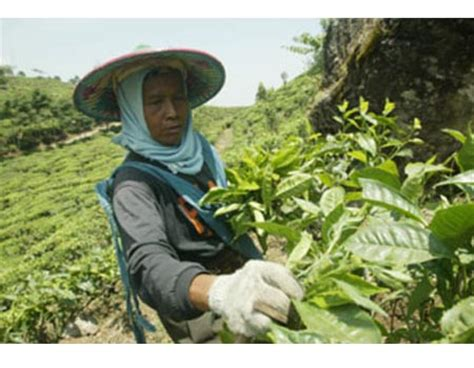Teh Pucuk Di Surabaya jamus agrowisata kebun teh peninggalan belanda ldii