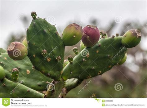 Flowers Free Sul cactus in grande do sul brazil stock photo image
