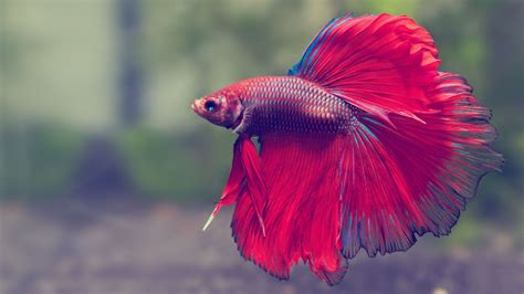10 Best Images About Beta betta fish are amazing