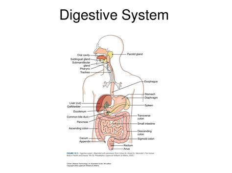 diagram of the without labels diagram of the digestive system with labels anatomy charts