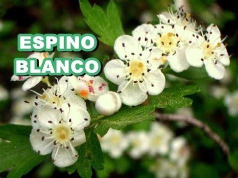 imagenes espino blanco usos y propiedades del espino blanco como remedio natural