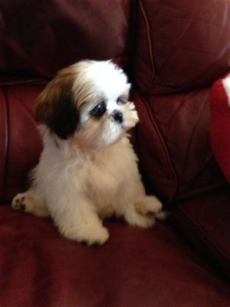 shih tzu puppies for sale stoke on trent imperial shih tzu puppies stoke on trent staffordshire pets4homes