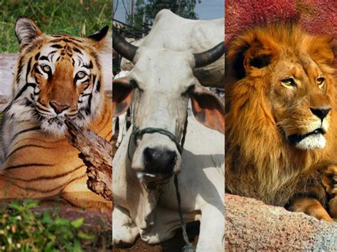 film lion vs tiger forget lion or tiger let s make the cow india s national