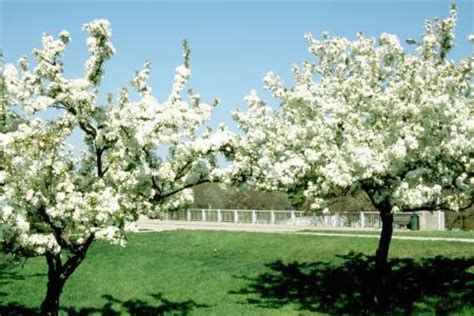 flowering shrubs ontario malus flowering crabapple landscape ontario green