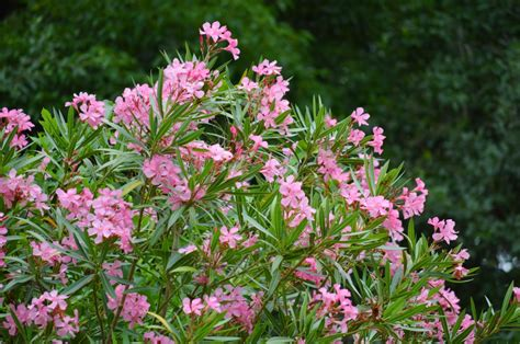 flowering summer shrubs late winter to early is time to do most pruning