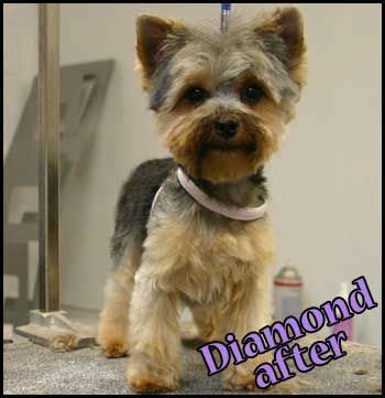 before and after yorkshire terriers short hair cut short yorkie haircut yorkies pinterest