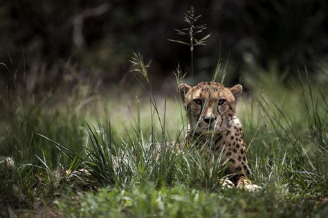 overkill the race to save africa s wildlife books race to save the cheetah as study reveals extinction threat
