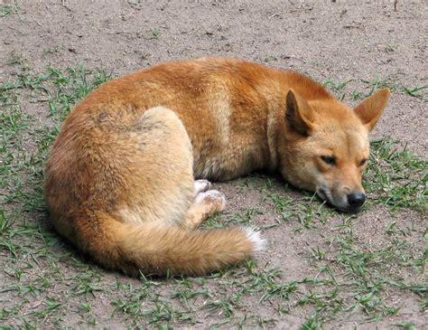 Динго фото собаки