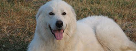 maremma puppies maremma sheepdog breed guide learn about the maremma sheepdog