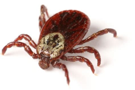 best shoo for fleas and ticks related keywords suggestions for fleas