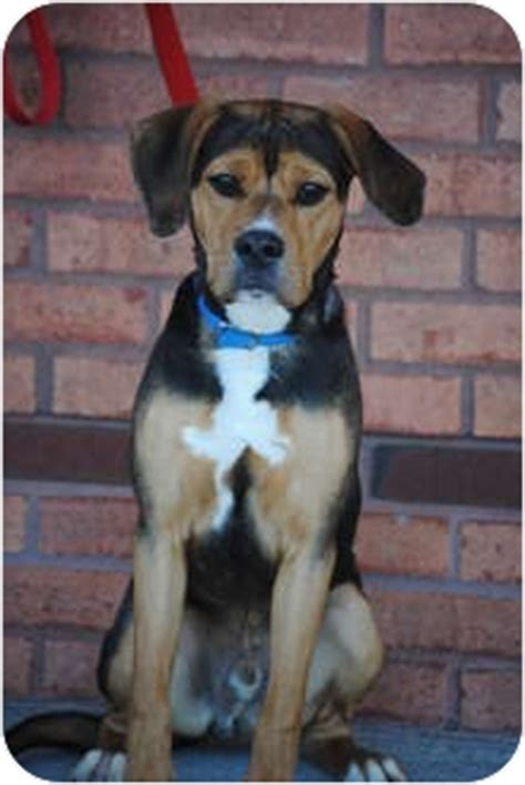 beagle rottweiler mix puppies louie adopted rochester buffalo ny rottweiler beagle mix