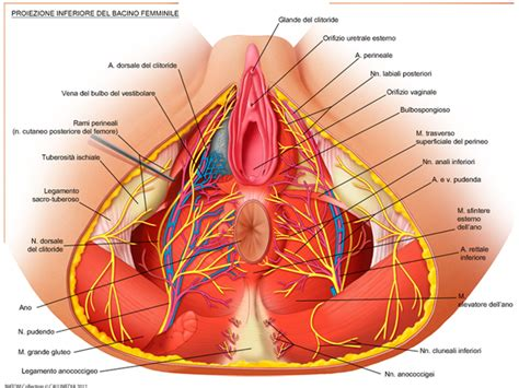 anatomia pavimento pelvico cenni di anatomia