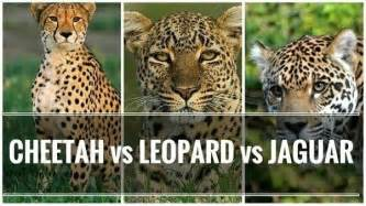 Are Leopards And Jaguars The Same Would A Leopard A Cheetah Or A Jaguar Win In A Fight