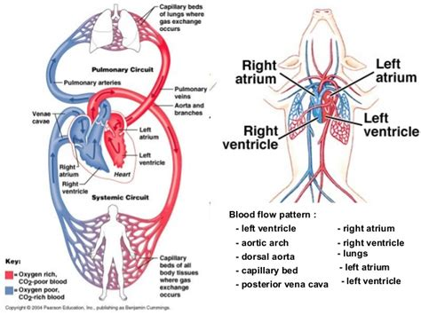 flow pattern definition blood circulatory system ara