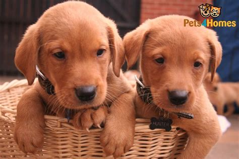 fox lab puppies for sale in pa fox labrador for sale breeds picture