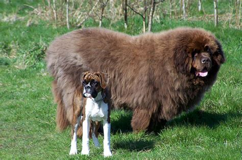 newfoundland breed photo of the day big and really big reflections