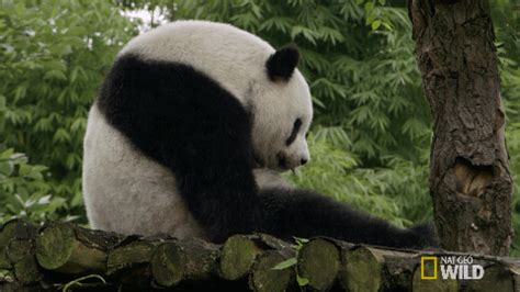 bored panda gif by nat geo wild find & share on giphy