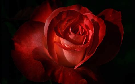 themes roses red red roses most popular rose rose wallpapers beautiful