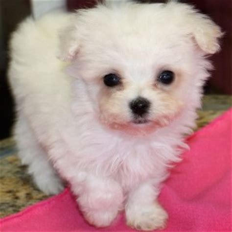 where to buy teacup puppies where to find teacup poodle puppies for sale dogable