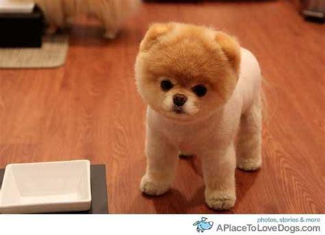 pomeranian puppies boo wo kann pomeranian puppy boo s kaufen hund