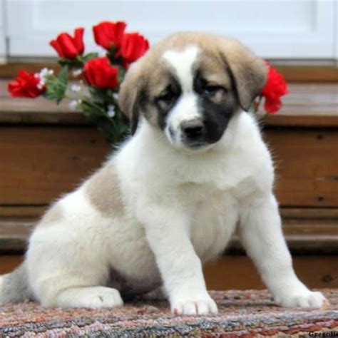 great pyrenees puppies for sale in pa great pyrenees mix puppy for sale in pennsylvania