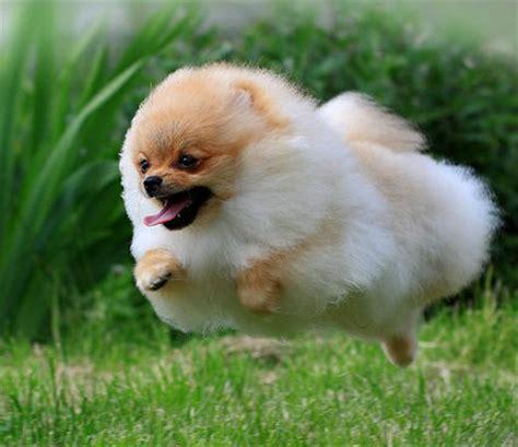 pomeranian aggressive behavior size breeds fluffy breeds aggressive breeds big dogs breeds picture