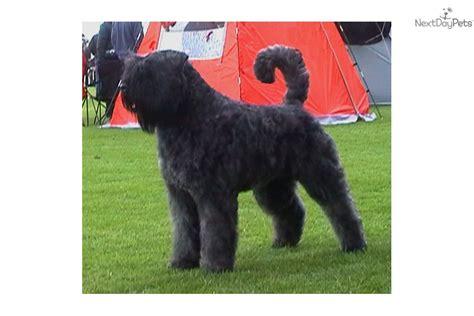 bouvier des flandres puppies for sale bouvier des flandres for sale for 850 near poland d74d12a0 8191
