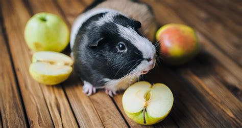 vegetables guinea pigs can eat what of fruit can guinea pigs eat