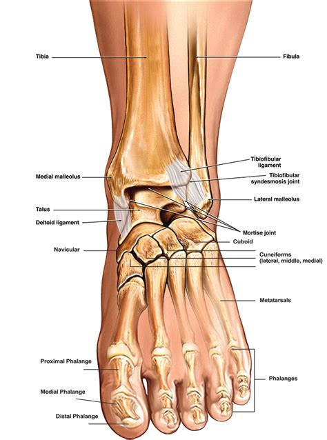 paw anatomy anatomy of the foot ankle total ankle replacement