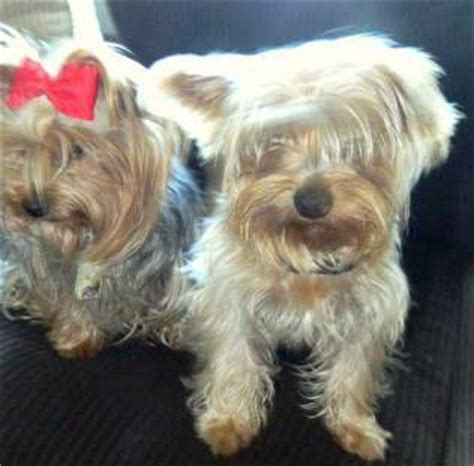 pictures of boy yorkies vs yorkies terrier information