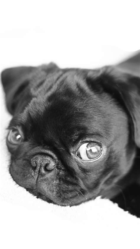 pug iphone wallpaper pugs puppies iphone 6 wallpaper hd animal wallpaper for iphone