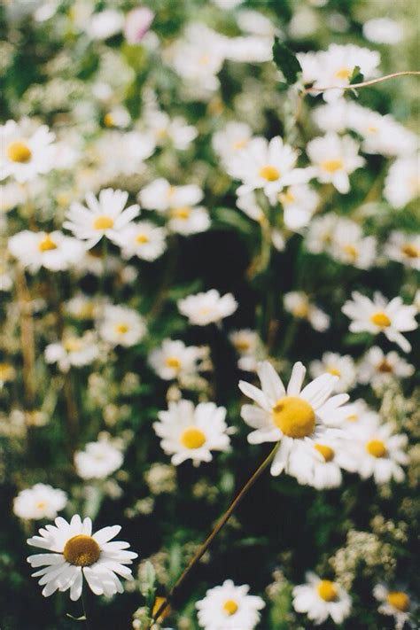 Daisy Wallpaper Pinterest | daisy wallpaper wallpapers pinterest daisies daisy