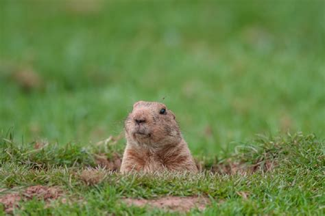 groundhog day german title groundhog etymology from whistle pigs to woodchucks
