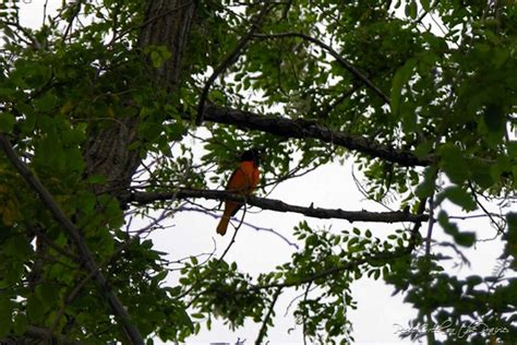 Black Found Hanging From Tree Has Criminal Record Nature Study Tuesday May 17 Nature Boy Tells About Baltimore Orioles Today Brought To
