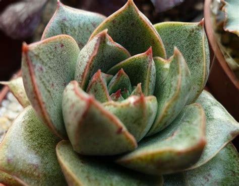 facts about succulents succulent plants plants and plant information on pinterest