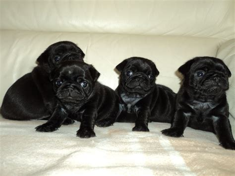 black pug puppie fantastic kc registered pedigree black pug puppies widnes cheshire pets4homes