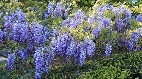glicine fiori photos flowers wisteria 2560x1440