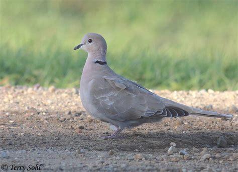 eurasian collared dove south dakota birds and birding
