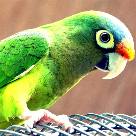 imagenes de pericos verdes perico furesa